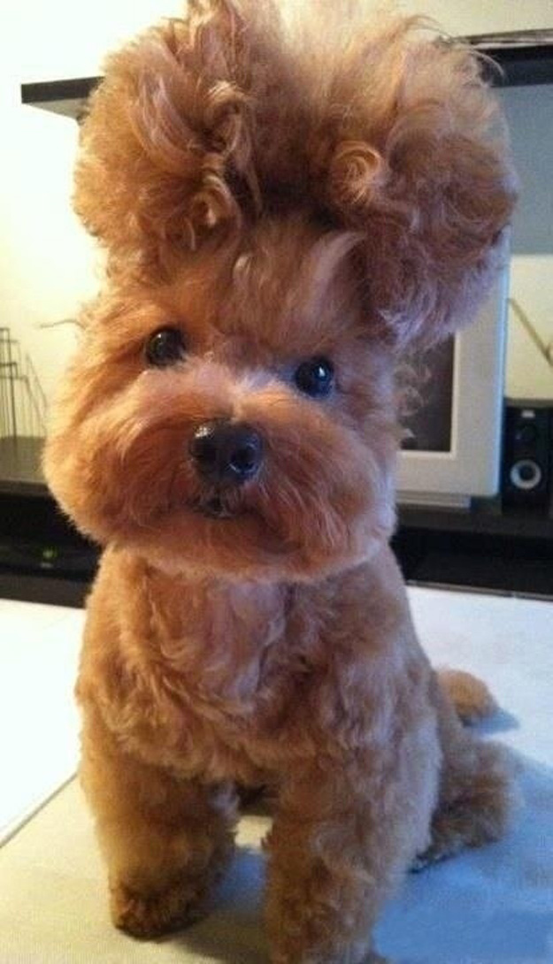 Boufant Dog