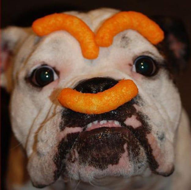 Ugly Bulldog