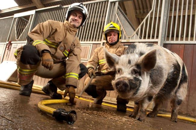 Pig Fireman