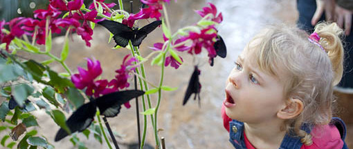 Girl looking at butterflies in the Glasshouse at RHS Garden Wisley.