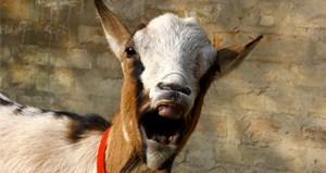 VOTD-Goat