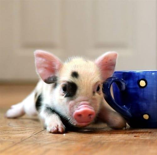 cute mini pig