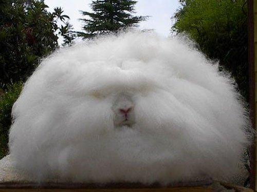 WA Angora Rabbit