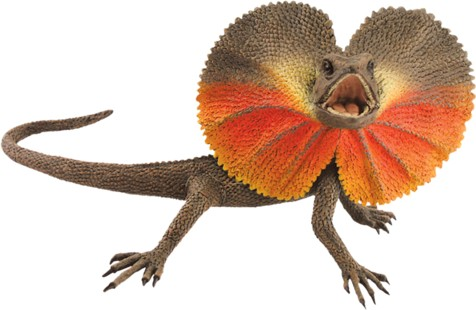WA Frill Necked Lizard