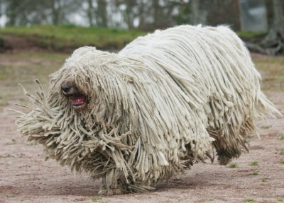 WA Komondor Dog