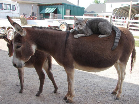 cats-on-donkey
