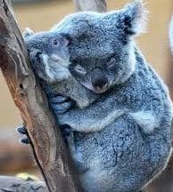 koalas-hugging
