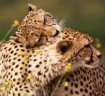 leopard-hugging
