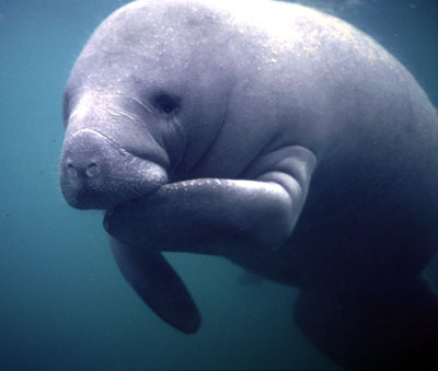 Cute Adult Manatee 1