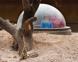 ZSL-London-Zoo-Meerkats