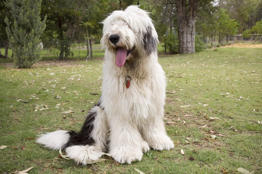 Old-English-Sheepdog1