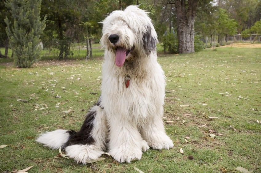 Old-English-Sheepdog1