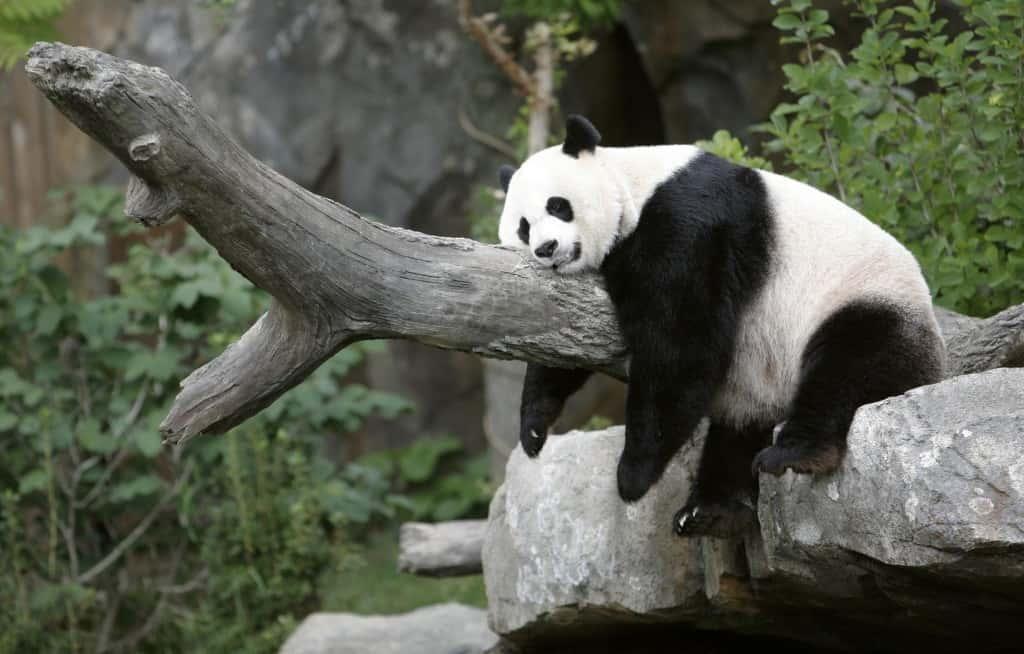 Giant panda Mei Xiang sleeps at the National Zoo in Washington