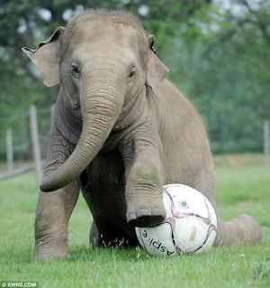 Elephant-Playing-Football