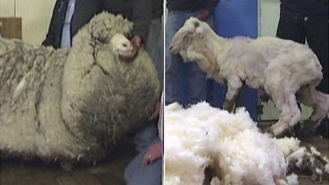 _77216778_sheep