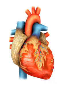 front-view-of-human-heart-stocktrek-images