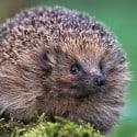 hedgehog - Niall Benvie_tcm9-162937