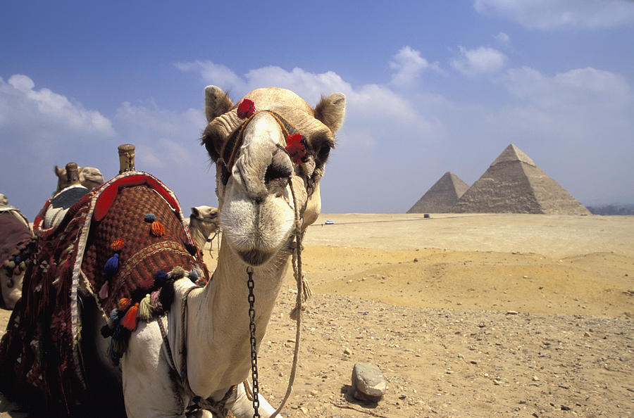camel-in-giza-egypt-axiom-photographic