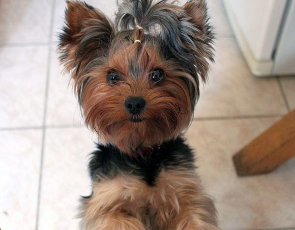 yorkie-facts