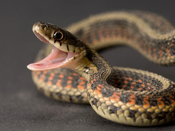 snake-medicine