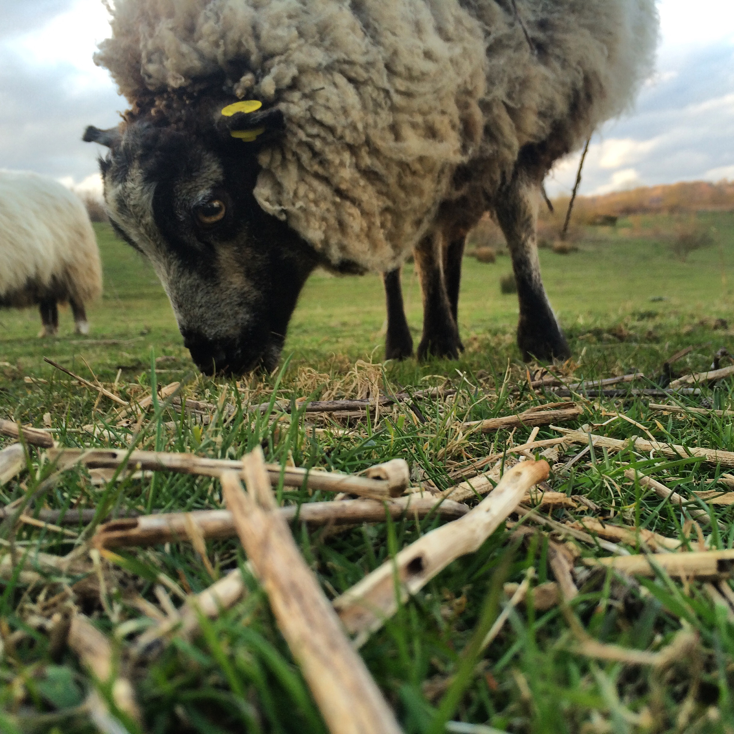 Still waiting for our sheep 'Dolly' - who we rescued from a London City Farm - to give birth