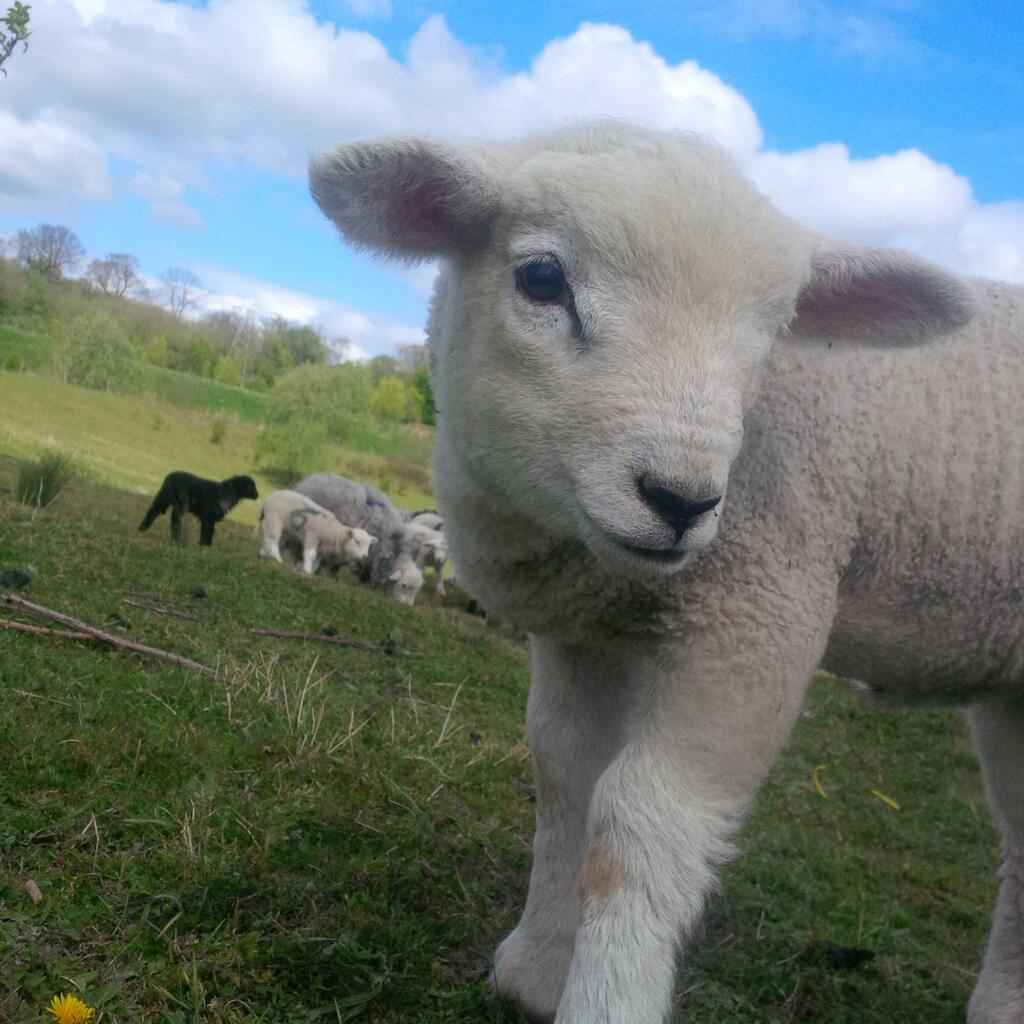A very friendly Texel bred lamb