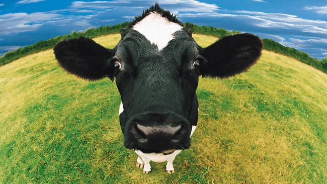 cow-triangle
