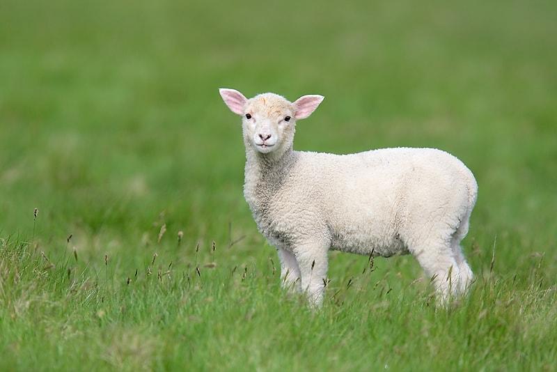 271885-lamb