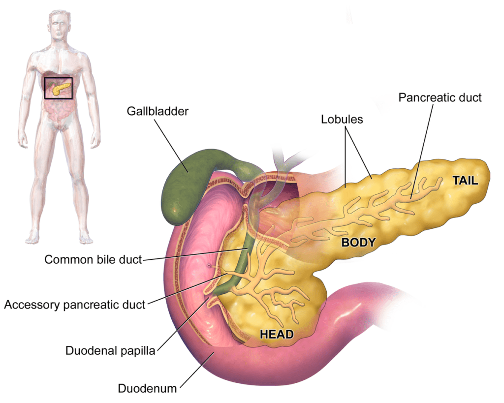 Bile, the liver, and pancreas: What are they and what do they do ...