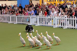 Animals duck herding