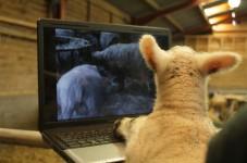 Newborn lamb and LambCam - back