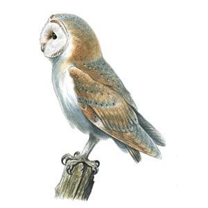 RSPB Barn Owl