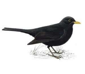 RSPB Blackbird