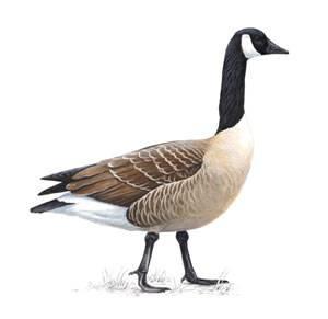 RSPB Canada Goose