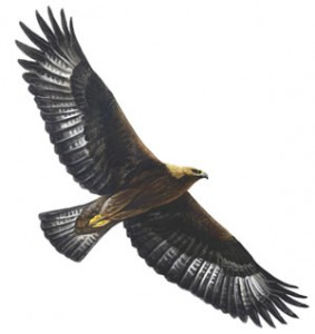 RSPB Golden eagle