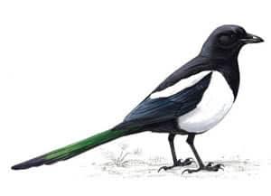 RSPB Magpie