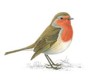 RSPB Robin