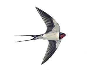 RSPB Swallow