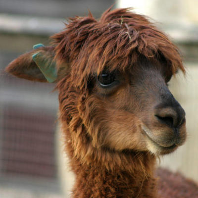 alpaca-4287