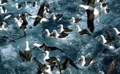 bb-albatross-m