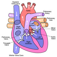 humanheart-bhf