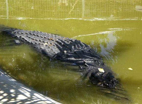 massive-croc3