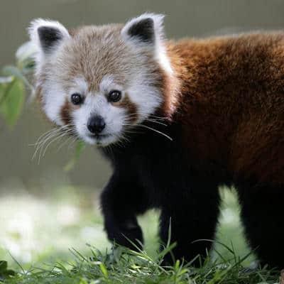 red-panda-4290