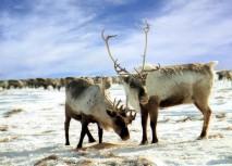 reindeer1-sweden